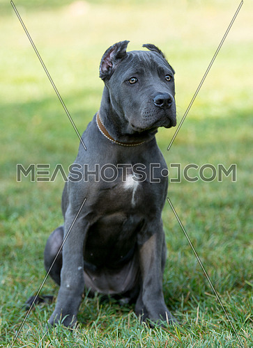 Amazing young Cane Corso on the grass looking at you.