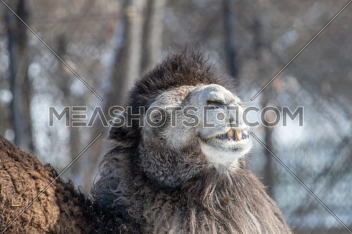 Head of Bactrian camel close up (Camelus bactrianus)
