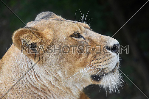Close up side profile portrait of beautiful mature female African lioness looking away over dark green background, low angle view