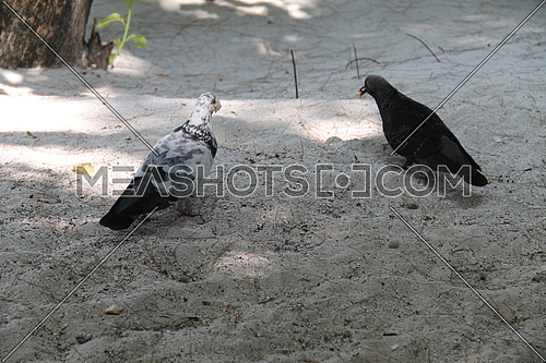 Pigeons on the beach looking for food , Maldives