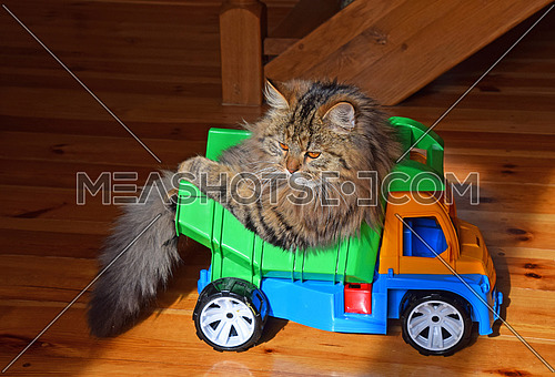 Close up side profile portrait of one brown colored domestic cat sitting in toy truck and looking away, low angle view