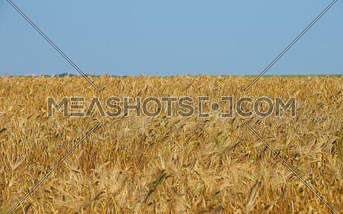 Field of ripe wheat under clear blue sky, high angle view