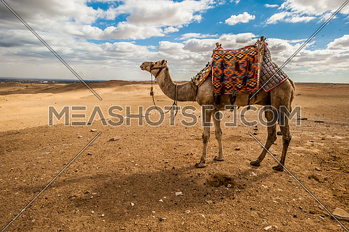 One camel standing in the desert on a sunny day blue sky and white clouds