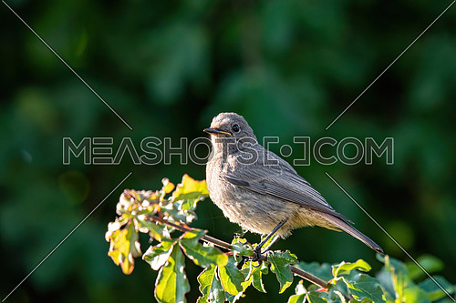 Close-up photography of young beautiful European black redstart (Phoenicurus ochruros)