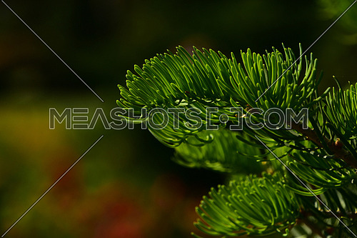 Pine tree branch of fir needles at dark colorful background