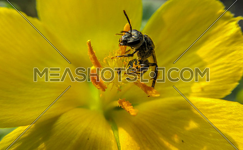 honeybee on yellow flower extracting pollen