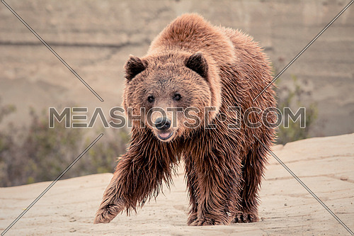Brown bear on a rocky surface