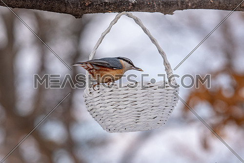 Eurasian nuthatch (Eurasian nuthatch) taking nuts from bird feeder with copy space