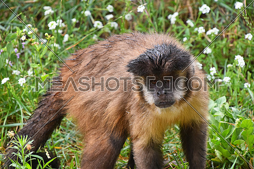 Brown (or tufted) capuchin monkey (Cebus apella) male in green grass, looking at camera