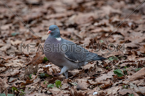 Common Wood Pigeon (Columba palumbus) Wildlife animal