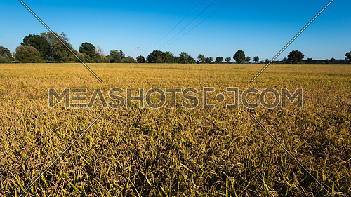In the picture rice field during the day