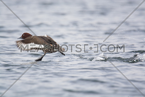 ferruginous Duck landing in the water