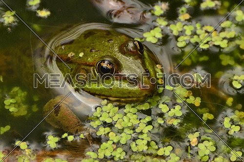 Levant Green Frog coming out of the water