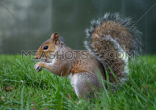 The squirrel is eating a nut holding it between his paws