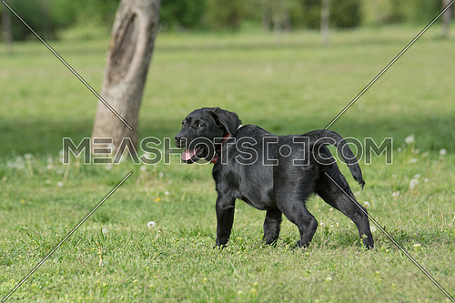 Adorable black puppy Labrador retriever outdoors in summer