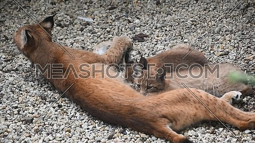 Mother Eurasian lynx nursing feeding two young baby kittens, close up, high angle view