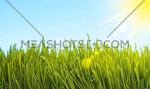 Close up fresh spring green grass growing under clear blue sky with sunshine, low angle view