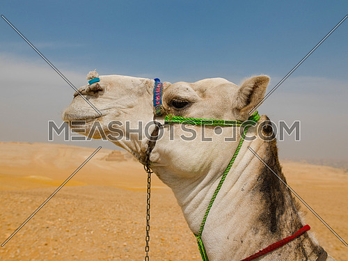 A Camel in the desert of the pyramids in giza egypt