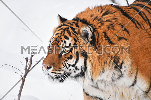 Close up portrait of one young Amur (Siberian) tiger in fresh white snow sunny winter day, looking up at camera, high angle profile view