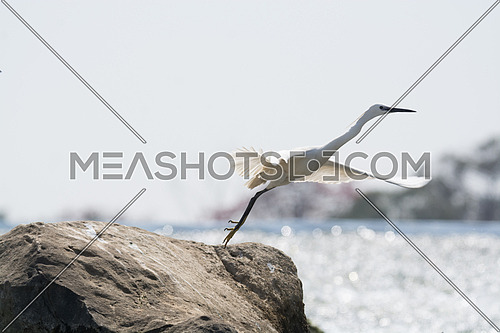 Little Egret bird takeoff