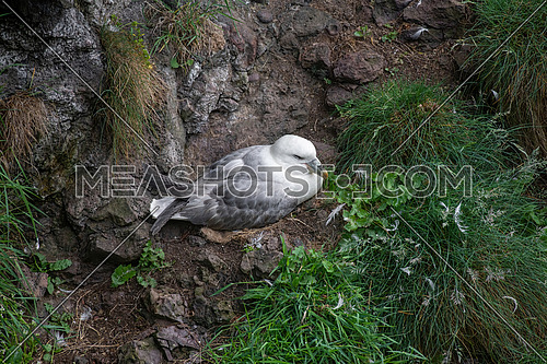 Fulmar (Fulmarus glacialis) nesting on a cliff edge