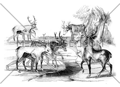 Trick of the Florida Indians to kill deer, vintage engraved illustration. Magasin Pittoresque 1842.