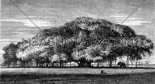 The colossal Multiplying, sacred fig tree, Botanical Garden of Calcutta, vintage engraved illustration. Magasin Pittoresque 1869.
