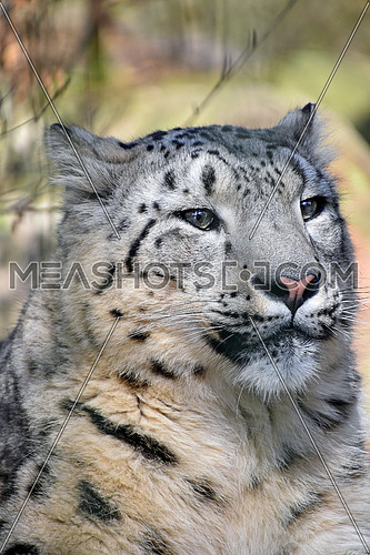 Close up portrait of snow leopard (or ounce, Panthera uncia) young female looking aside of camera, low angle view