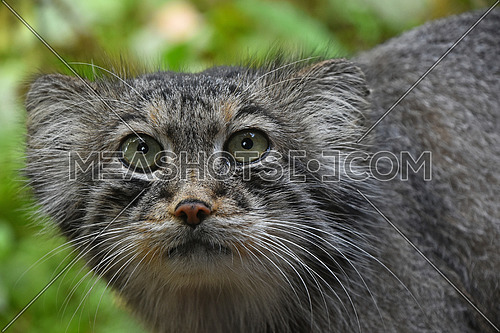 Close up portrait of one cute Manul (The Pallas's cat or Otocolobus manul) looking at camera, low angle view