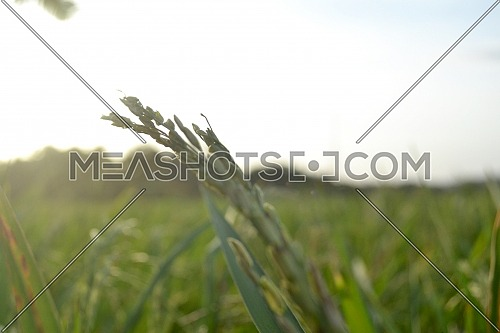 Paddy Grains With Stalks In The Rice Field Exposed To Sunlight In Blurred Portrait