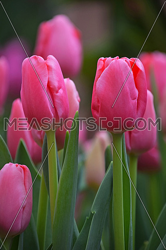 Pink fresh springtime tulip flowers with green leaves growing in field, close up, low angle view