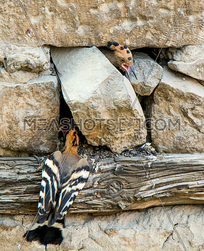 hoopoe feeding his chick