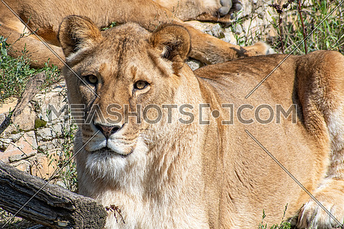 Panthera leo is one of the four big cats in the genus Panthera and a member of the family Felidae.