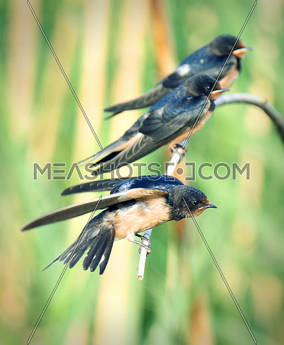 three Barn Swallows on a branch