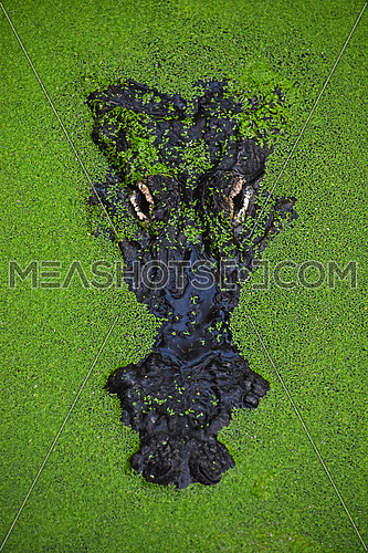 Close up portrait of alligator crocodile looking out of green duckweed hiding in water ambush, elevated top view