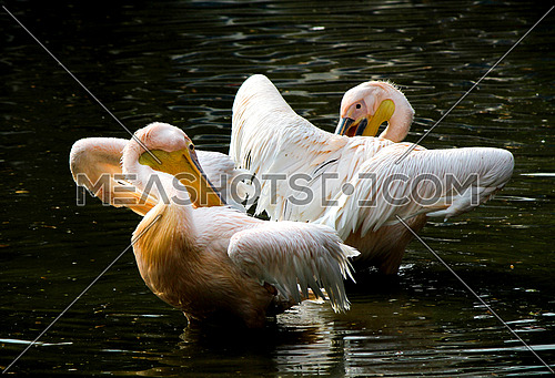 Pelicans couple - standing as mirror