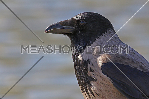 Hodded crow headshot