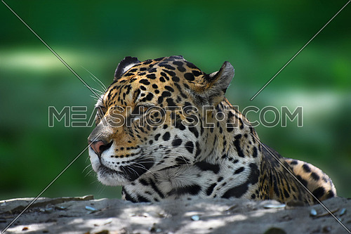 Close up side profile portrait of jaguar (Panthera onca) looking away over green background, low angle view