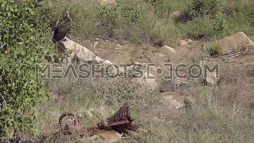 View of a vulture perched near a dead Impala