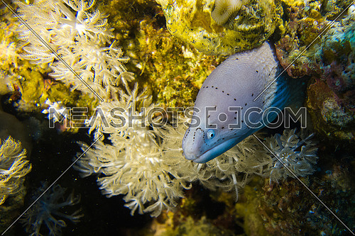 underwater shot for a white eel in the red sea Egypt