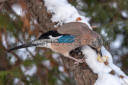 Closeup of Eurasian Jay- Garrulus glandarius sitting on a tree branch