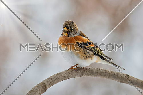 Brambling - Fringilla montifringilla on the  branch.Migration in winter
