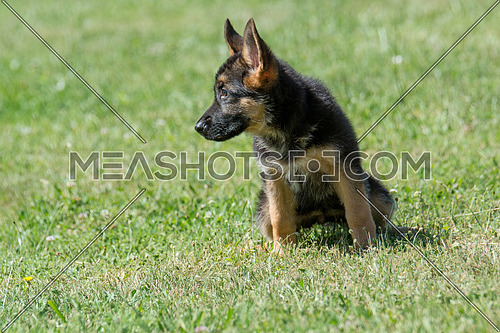 German shepherd puppy sitting on the green grass. Selective focus on the dog