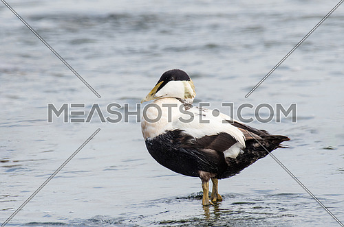 Common Eider Duck - Somateria mollissima Male in the sea