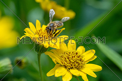 Bee on Yellow Arnica (Arnica Montana) herb blossom with nice bokeh. Note: Shallow depth of field