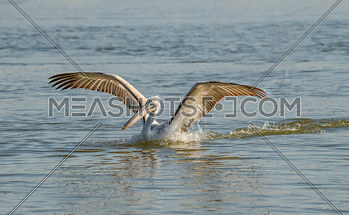 Dalmatian curly pelican (Pelecanus crispus) the world's largest fresh water bird. Rare bird species
