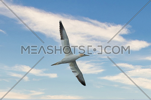 Close up photo of Northern gannet (Morus bassanus) in flight