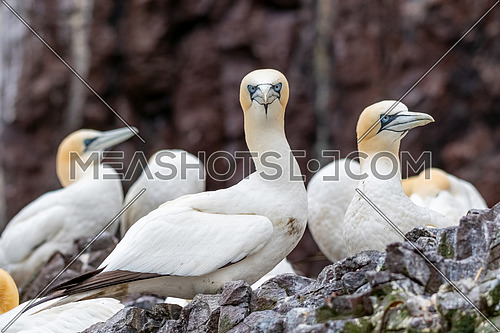Northern gannets in breeding colony at cliffs of Bass Rock,Scotland