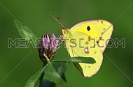 Yellow, green and pink butterfly on a purple flower macro video footage