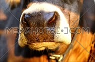 Cow chewing grass detail closeup